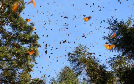 Monarch Sanctuaries Trip @ Michoacán